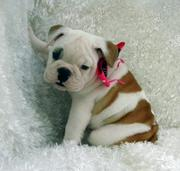 Cute male and female bulldog puppies for adoption